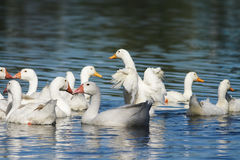 White geese and ducks swimming on blue water in summer. In the village Stock Image