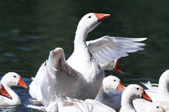 White geese and ducks swimming on blue water in summer. In the village Royalty Free Stock Images
