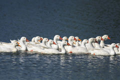 White geese and ducks swimming on blue water in summer royalty free stock photography