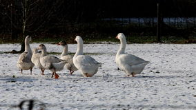White geese dutch winter landscape stock video footage