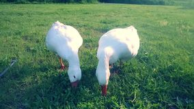 White Geese. Geese eating grass in a country field royalty free stock photography