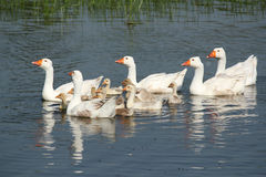 White geese family swimming Royalty Free Stock Photo