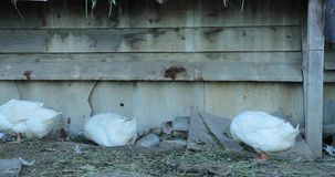 White geese on the farm in the afternoon.  stock video footage