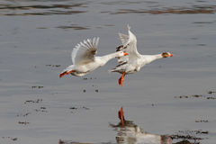White geese in flight Stock Photo