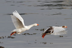 White geese in flight Stock Image