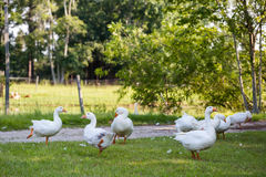 White geese Royalty Free Stock Images