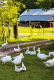 White geese Stock Images