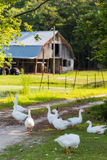 White geese Royalty Free Stock Image