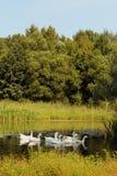 White geese Stock Photos
