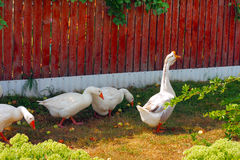 White geese Royalty Free Stock Photography