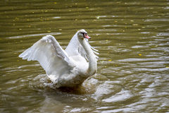 White Geese Flying in dirty ponds Stock Photography