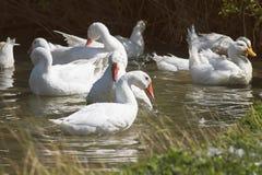 White geese fun splashing in the pond in the village royalty free stock photos