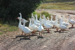 White geese in the village royalty free stock photos