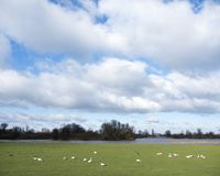 White geese graze in food plains of river ijssel near kampen and Zwolle. White geese graze in food plains of river ijssel near dutch cities kampen and Zwolle in Stock Photo
