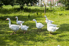 White geese grazing in the garden. stock images