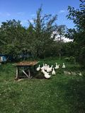 White geese on a green lawn Royalty Free Stock Photos