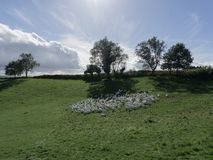 White geese hiding in the shade of a large tree from the summer sun on a large green meadow stock photo