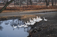 White geese. On the lake Royalty Free Stock Photo