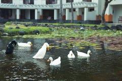 White geese in the lake, farmyard goose. Park of Nusa Dua, Bali island, Indonesia. stock photo
