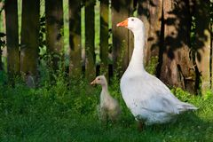 White geese and litle gesse on green grass near the fencef royalty free stock photos