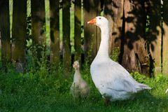 White geese and litle gesse on green grass near the fencef stock photography