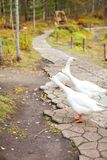 White geese with orange beaks in the park walk in search of food stock image