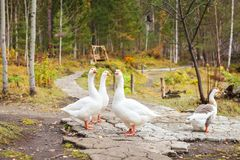 White geese with orange beaks in the park walk in search of food royalty free stock images