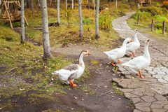 White geese with orange beaks in the park walk in search of food royalty free stock image