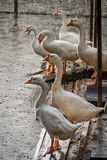 White geese in the rainy day Stock Image