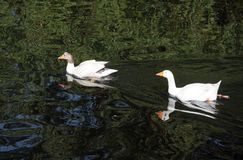 White geese on River Avon. Stock Image