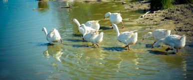 White geese run to swim. White geese in a hurry run to swim in the blue water of the river Royalty Free Stock Photos