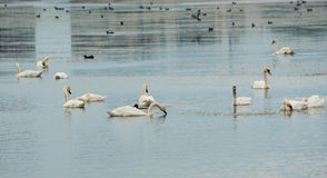 White geese in the salt lake in Pomorie, Bulgaria Royalty Free Stock Photography