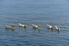 White geese in the sea. A row of white geese in the sea Royalty Free Stock Image