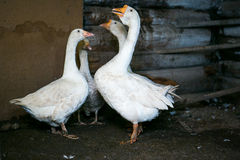 White geese standing in a cowshed stock photography