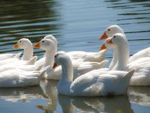 White geese swim in the pond of the flock stock image