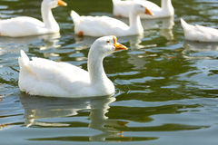 White geese swim in river Stock Photo