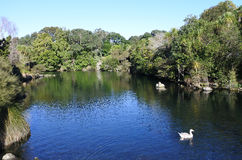 White geese swim in  Western Springs park in Auckland New Zealan Stock Image