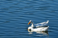 White Ducks Swimming in Pond. White ducks swimming in Keene, Texas stock photo