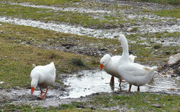 White geese Stock Photography