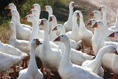 White geese in the village closeup stock photography
