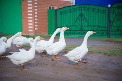 White geese in the village. A flock of white geese is on a wet road in the village Stock Photos