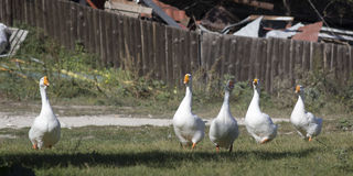 White geese walk across the lawn stock images