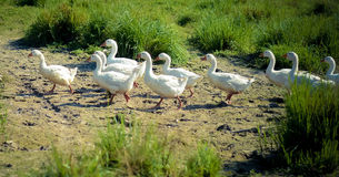 The white geese walking along in the sand. A lot of white geese walking along in the sand near green grass Stock Image