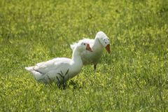 White geese walking on brightly green grass. White geese walking on brightly green grass Royalty Free Stock Photo