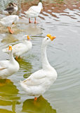 White geese. Royalty Free Stock Images