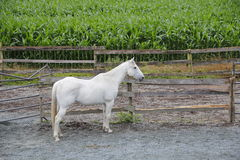 White Gelding and Corn Field. Full profile of a mature white Gelding standing near a corn field Royalty Free Stock Photo