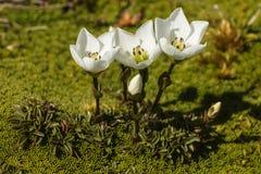 White gentian flowers Stock Photo