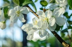 White cherry flowers is blooming at spring royalty free stock photography