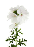 White geranium. Flower and foliage isolated against white royalty free stock images