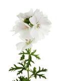 White geranium Royalty Free Stock Images